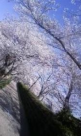 シャルマンノウラ シャルマンノウラの堤防 遅めに咲くサクラ